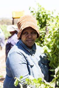 harvest on Simonsig Wine Estate