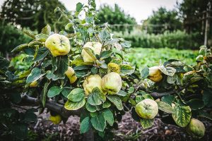 Quince on the vine