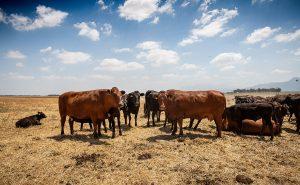 Wagyu cattle Bartholomeus Klip